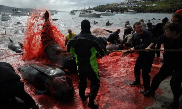 «Κοκκίνησε» η θάλασσα στα Νησιά Φερόε: Έσφαξαν 250 φάλαινες και δελφίνια