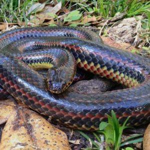 ΗΠΑ: Φίδι – «ουράνιο τόξο» εμφανίστηκε μετά από 50 χρόνια στη Φλόριντα
