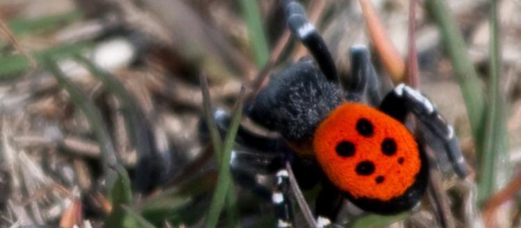 Από τη Βρετανία… στη Λάρισα: Εντοπίστηκε το πιο σπάνιο είδος πασχαλίτσας – αράχνης (φώτο)