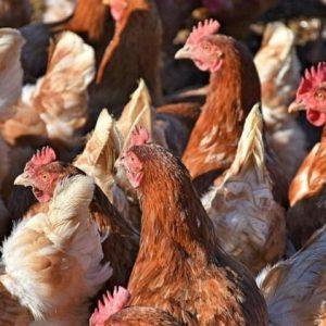 Μεχρι και οι κοτες το καταλαβαν … !!! «Συμμορία» από κότες σκότωσε αλεπού σε αγρόκτημα στην Βρετάνη