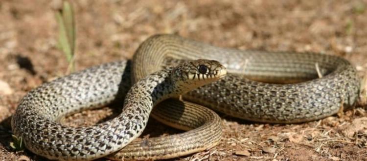 Προφητεία της Βίβλου επαληθεύεται όταν φίδι βγαίνει από το Τείχος των Δακρύων της Ιερουσαλήμ