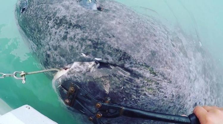 «Ψάρεψαν» καρχαρία 512 ετών: Το γηραιότερο εν ζωή πλάσμα στον κόσμο! [ΒΙΝΤΕΟ].