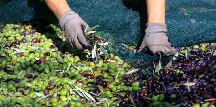 Δύσκολος χειμώνας έρχεται! «Καμπανάκι» ΚΑΙ για ελαιόλαδο και ξηρούς καρπούς – Η μειωμένη παραγωγή φέρνει κρίση στα ράφια – ΒΙΝΤΕΟ